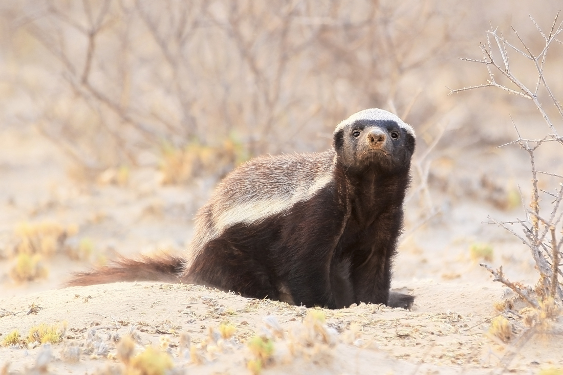 Drastic Remedial Action For The Honey Badger - Image 12