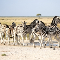 In Etosha We Slosha In Galosha