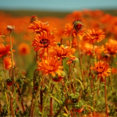 Flower Power in Namaqualand