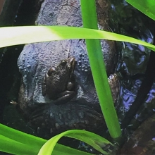 Our frog 🐸 quite happy to sit on the crocodile's head! #maricha360 #reptile #crocodile #frog #summer #fun #justsitting #justsittingthere #southafrica #garden #waterfeature #water